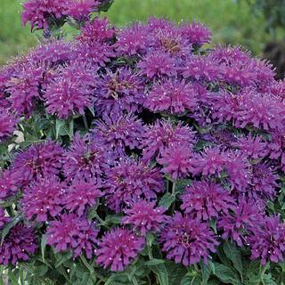 Monarda Sugar Buzz® Grape Gumball