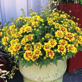 Coreopsis Lil Bang™ Enchanted Eve - Pack of 6Image