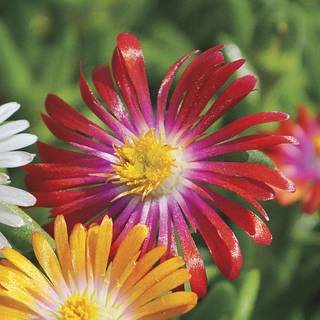 Delosperma Jewel of Desert Assortment