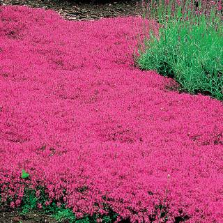 Thymus Coccineus  - Pack of 6Image