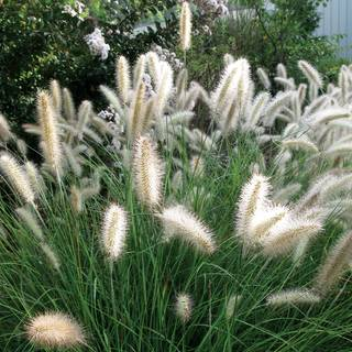 Shop All Pennisetum (Crimson Fountaingrass)