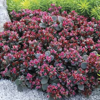 Sedum Sunsparkler® Blue Elf