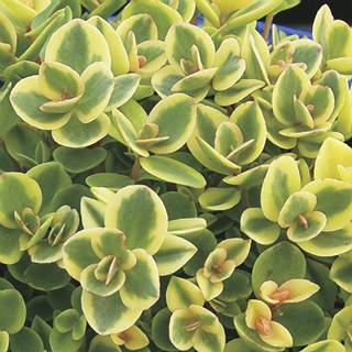 Sedum Sunsparkler® Lime Twister