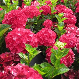 Hydrangea Magical® Ruby Red