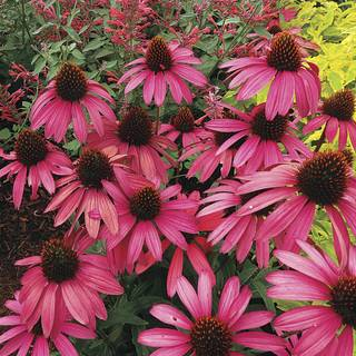 Echinacea Amazing Dream