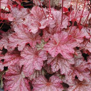 Heuchera Berry Smoothie