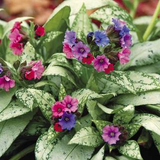 Pulmonaria Silver Bouquet