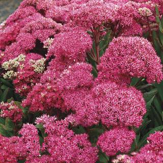 Sedum Mr. Goodbud