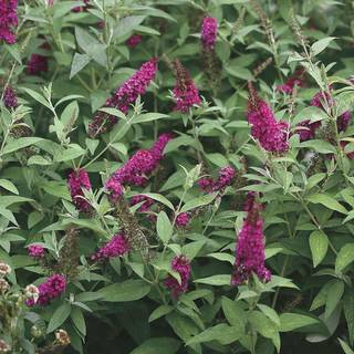 Buddleia Miss Molly