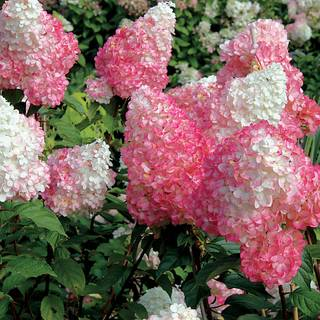 Hydrangea Vanilla Strawberry