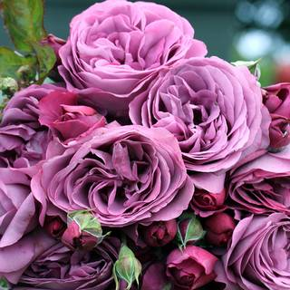 Plum Perfect™ Sunbelt® Floribunda Rose