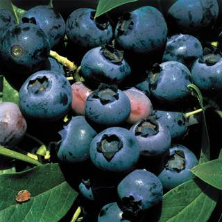 ONeal BlueberryImage