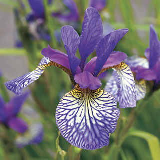 Iris Shakers Prayer