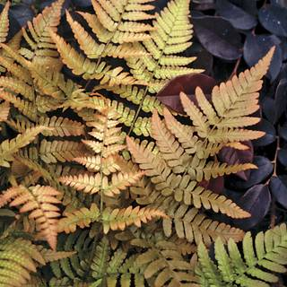 Dryopteris Brilliance