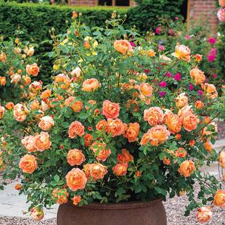 Rosa Lady of Shalott™