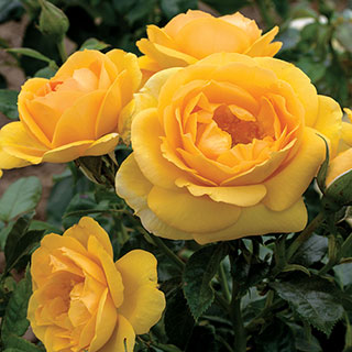 Soaring to Glory 24-Inch Patio Tree Rose