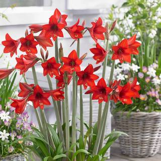 Hippeastrum Sonatini® Red Rascal