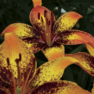 Lilium Asiatic Tribal Dance