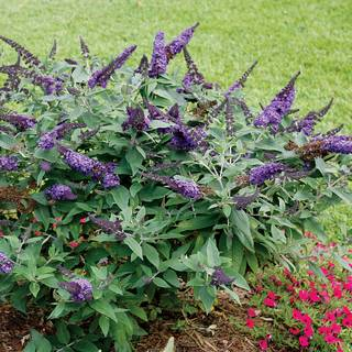 Buddleia Pugster® Blue