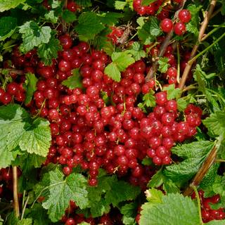 Red Jade™ Red Currant