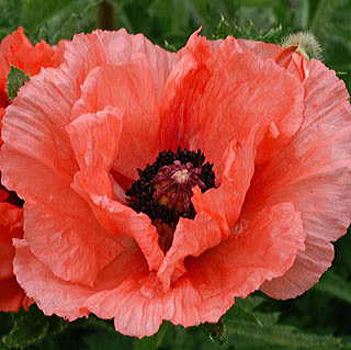 Papaver Double Pleasure