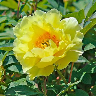 Paeonia High Noon