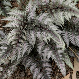 Shop All Athyrium (Fern)