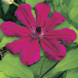 Clematis Allanah