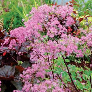 Thalictrum Black Stockings
