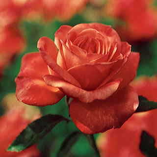 Rose Tropicana Hybrid Tea