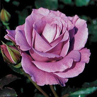 Rose Angel Face Floribunda