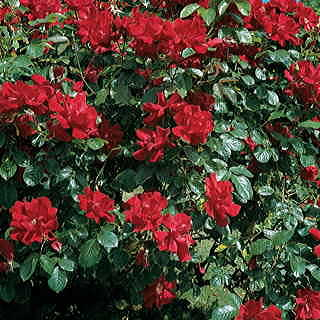Don Juan Climbing Rose