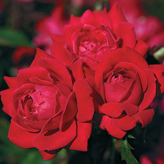 Red Double Knock Out® Shrub Rose