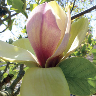 Magnolia Sunsation