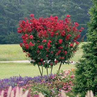Lagerstroemia Red Rocket®