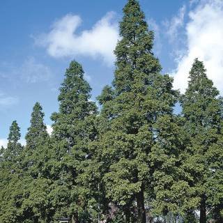 Metasequoia Glyptostrobodies