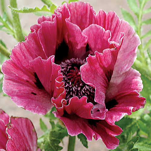47682 Red Poppy Houseplants on flowers red, berries red, pots red, mums red, nature red, design red, animals red, ornamental grasses red, cactus red, peppers red, orchids red,