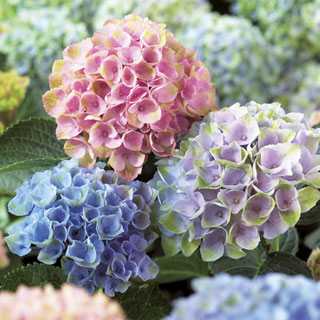 Hydrangea Everlasting(TM) Revolution