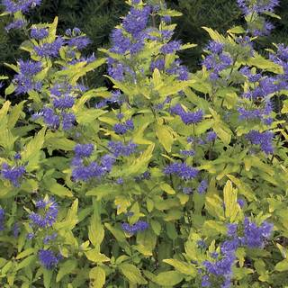Caryopteris Little Miss Sunshine® PP 22,160