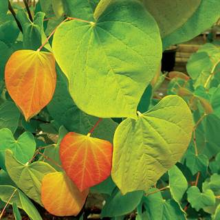 Cercis The Rising Sun™