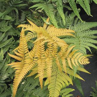 Dryopteris Golden Mist™