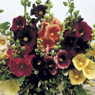 Alcea Old Barnyard Mix