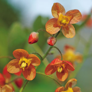 Epimedium Orange Queen