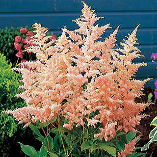 Peach Blossom Astilbe Japanese Astible PlantImage