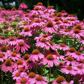 Echinacea Kims Knee High