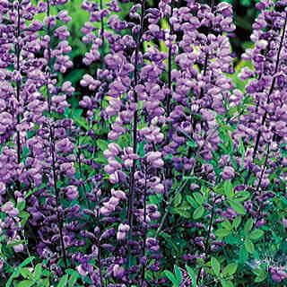 Purple Smoke Baptisia False Indigo Plant