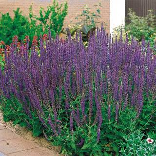Salvia East Friesland