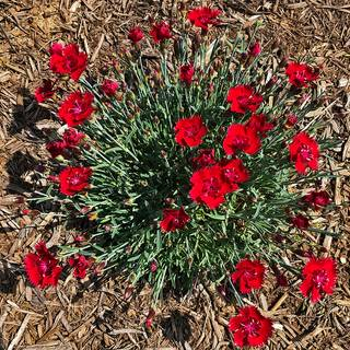 Dianthus SINGLE STAR™ Fire Star Improved