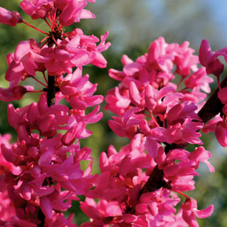 Cercis Appalachain Red