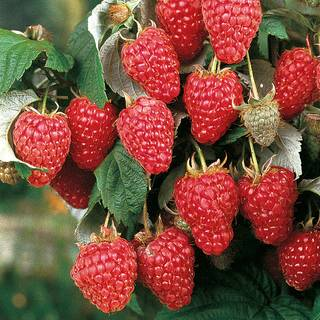 Rubus Heritage - Pack of 3